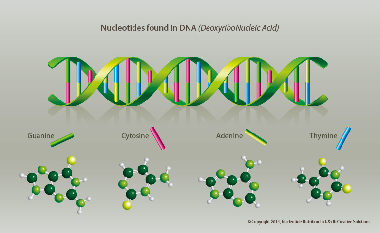 NNNXL – Nucleotides found in DNA